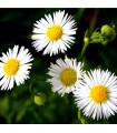 Heřmánek římský - Rmen sličný - Anthemis nobilis - prodej semen heřmánku římského - 0,1 gr
