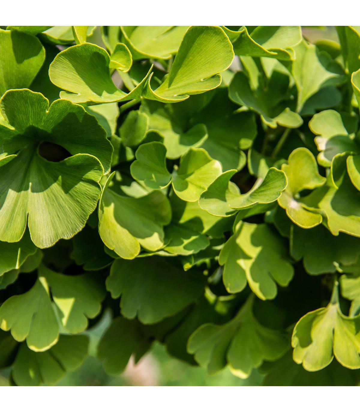 Ginkgo biloba- Jinan dvoulaločný- semena- 6 ks