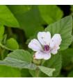 Proskurník lékařský - Althaea officinalis - prodej semen - 25 ks