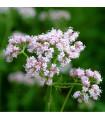 Kozlík lékařský - Valeriana officinalis - semena kozlíku - 120 ks