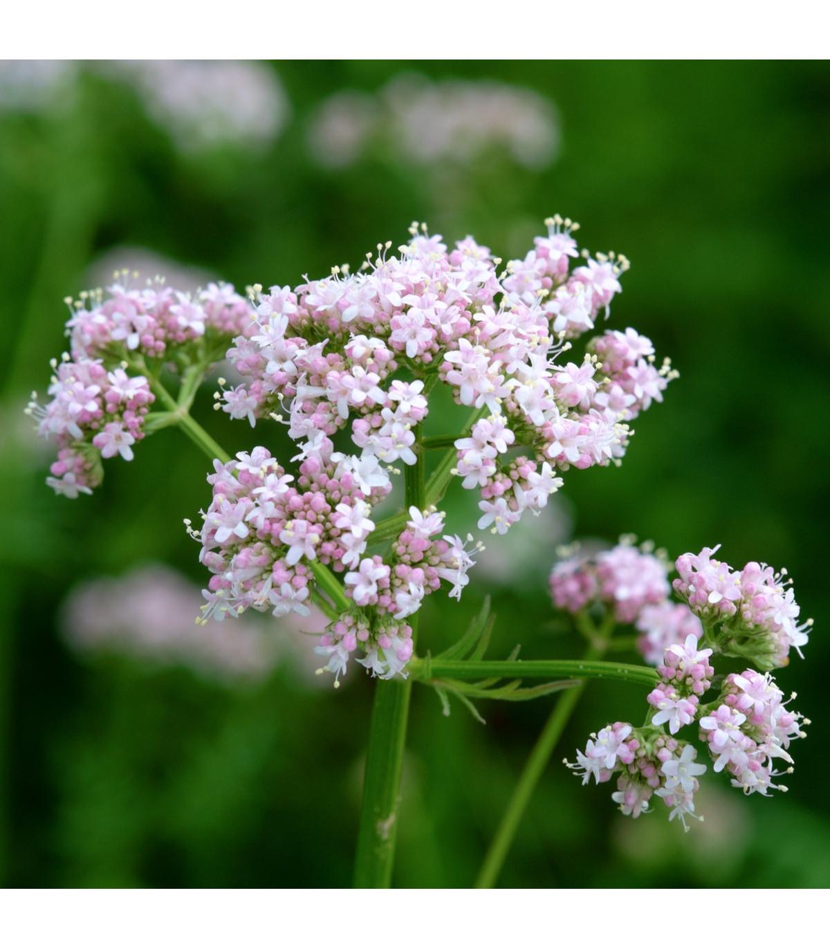 Kozlík lékařský - Valeriana officinalis - semena kozlíku - 0,1 g
