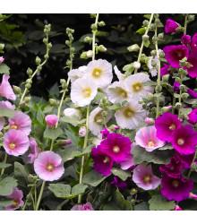 Topolovka Simplex směs - Althaea rosea - osivo topolovky - 25 ks