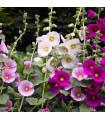 Topolovka Simplex směs - Althaea rosea - 40ks