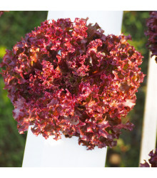Salát červený kadeřavý - 1.000 ks - Lactuca sativa - prodej semen salátů