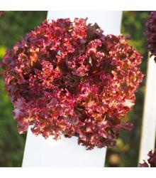 Salát červený kadeřavý - 900 ks - Lactuca sativa - prodej semen salátů
