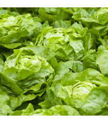 Salát hlávkový letní - Dětenická atrakce - semena salátu - 400 ks