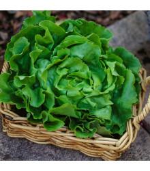 Salát ledový Ledové jezero - Lactuca Sativa - semena salátu - 100 ks