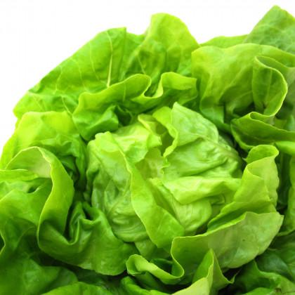 Salát hlávkový máslový Sylvesta - bio osivo salátu - Lactusa sativa - 0,1 gr