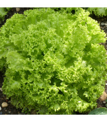 Salát listový kadeřavý Lollo Bionda - Lactuca sativa - semena salátu - 450 ks