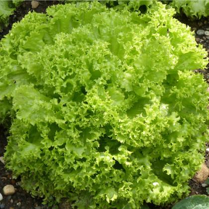 Salát listový kadeřavý Lollo Bionda - semena salátu - 450 ks