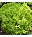 Salát listový kadeřavý Lollo Bionda - semena salátu - 0,5 gr