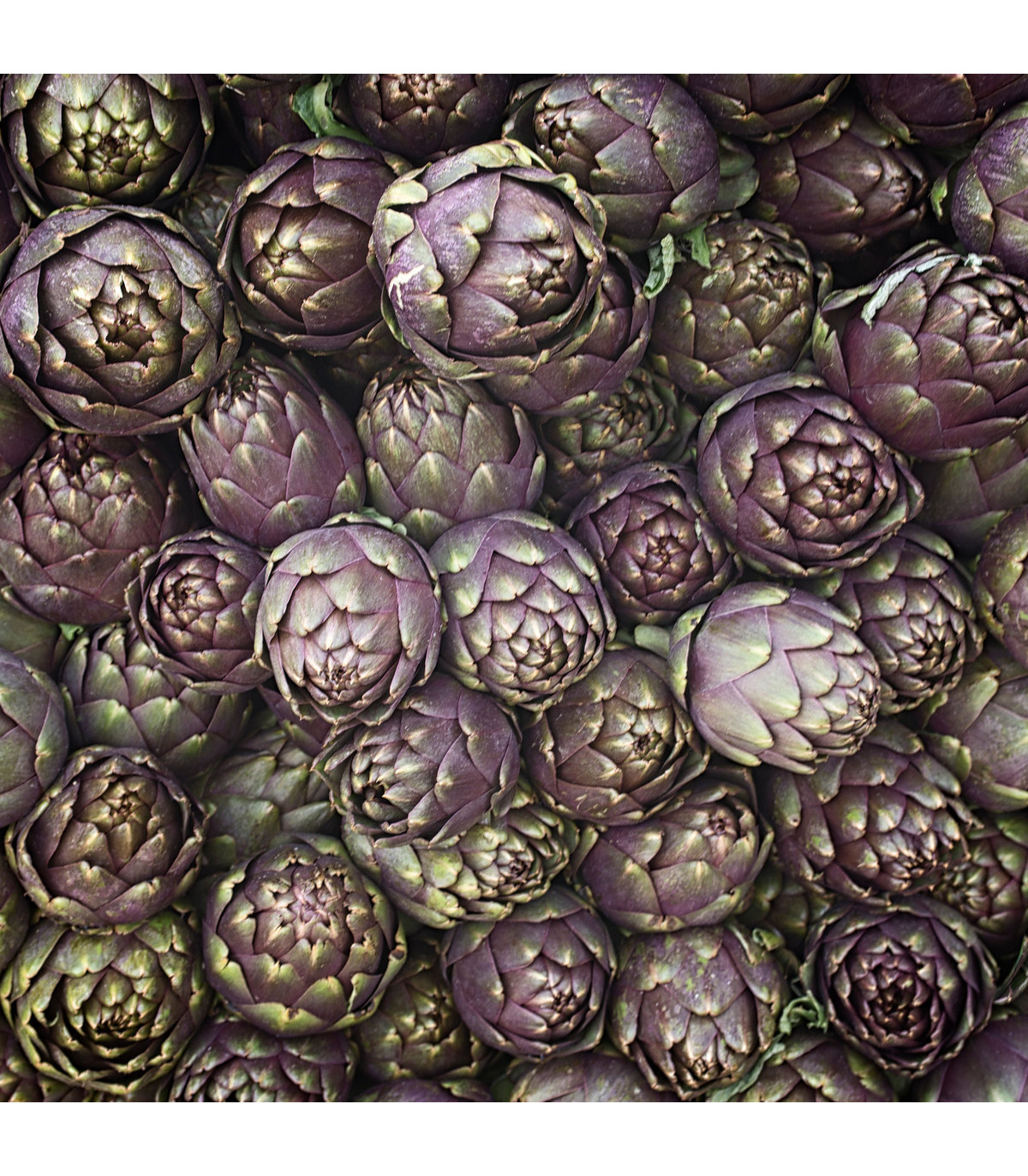 Artyčok fialový - Cynara scolymus - semena artyčoku - 1 gr