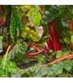 Mangold řapíkatý růžový - Beta vulgaris - semena mangoldu- 75 ks