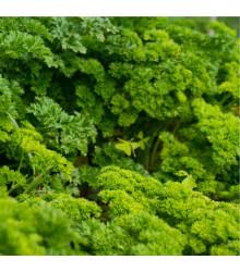 Petržel Afrodite - Petroselinum crispum - semena petržele - 0,5 gr