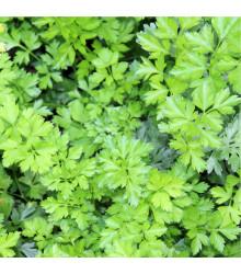 Petržel naťová hladká - Petroselinum crispum - semena petržele - 500 ks