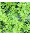 Petržel naťová hladká - Petroselinum crispum - semena petržele - 1 g