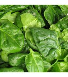 Špenát setý zelný Monnopa - Spinacia oleracea - semena špenátu - 100 ks