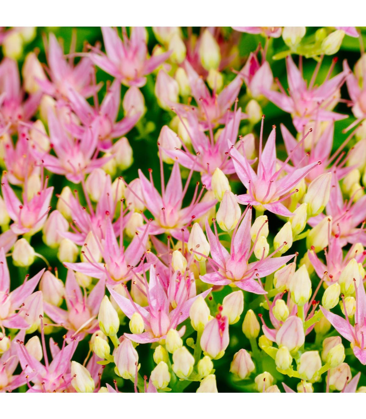 Rozchodnice růžová - Rhodiola rosea - prodej semen - 8 ks