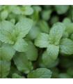 Meduňka - Melissa officinalis - semena Meduňky - 0,4 g