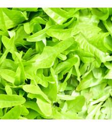 Divoká roketa - Wild rocket  - rostlina Diplotaxis tenuiflora- prodej semen - 0,5 gr