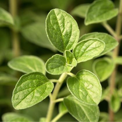 Majoránka zahradní - Majorana hortensis - osivo majoránky - 0,5 g