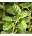 Majoránka zahradní- Majorana hortensis- semena Majoránky- 1100 ks