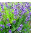 Levandule lékařská - Lavandula angustifolia - semena Levandule- 130 ks
