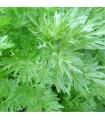 Pelyněk pravý - Artemisia absinthum - semena pelyňku - 0,02 g