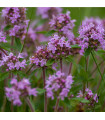 Mateřídouška - Thymus serpyllum - semena Mateřidoušky - 0,15 g