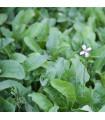 Rukola setá - rostlina Eruca sativa - prodej semen - 0,5 gr