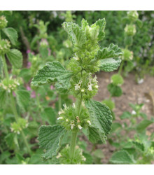 Jablečník obecný - Marrubium vulgare - semena Jablečníku - 12 ks