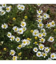 Heřmánek- Matricaria recutita- semena Heřmánku- 0,5 g