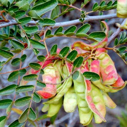 Africká bylina- Sutherlandia- 4 ks