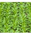 Kozlíček polníček Verte de Cambrai - Vallerianella locusta - prodej semen - 50 ks