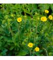 Mochna nátržník - Potentilla erecta - prodej semen - 8 ks