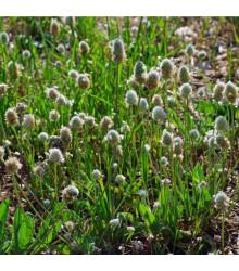 Jitrocel Minutina - Plantago coronopus - semena jitrocele - 500 ks