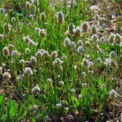 Jitrocel Minutina - Plantago coronopus - prodej semen - 500 ks