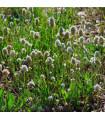 Jitrocel Minutina - Plantago coronopus - prodej semen - 0,2 gr