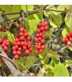 Schizandra čínská- Klanopraška- semena Klanoprašky- 6 ks