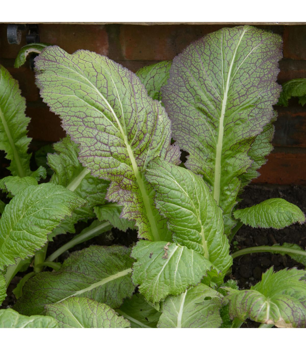 Hořčice habešská - Brassica carinata - prodej semen hořčice - 1 gr