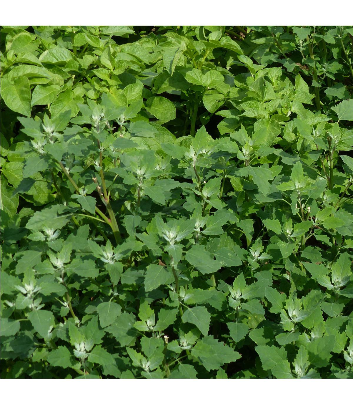 Lebeda zahradní - prodej semen lebedy - Atriplex hortensis - 0,5 gr