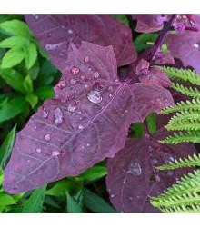 Lebeda zahradní Scarlet- prodej semen lebedy - Atriplex hortensis - 60 ks