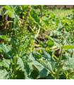 Merlík všedobr - Chenopodium henricus - prodej semen - 0,8 gr