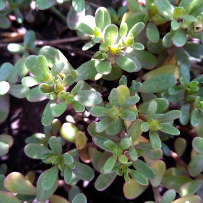 Šrucha zelná - Portulaca oleracea - prodej semen zeleniny - 30 ks