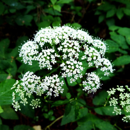 Kerblík lesní - Anthriscus sylvestris - semena kerblíku - 0,5 g
