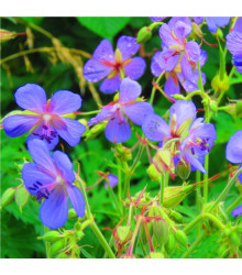 Kakost smrdutý - Geranium robertianum - osivo kakostu - 10 ks