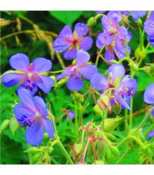 Kakost smrdutý - Geranium robertianum - prodej semen kakostu - 10 ks