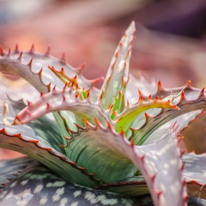 Aloe branddraaiensis - prodej osiva aloe - 6 ks