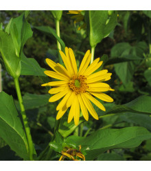 Mužák prorostlý - Silphium perfoliatum - prodej semen - 8 Ks