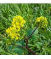 Hořčice černá - Brassica nigra - prodej semen - 50 ks